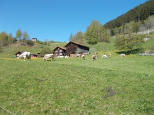 A Swiss farmhouse with cows in the foreground, looking uphill towards the highway.