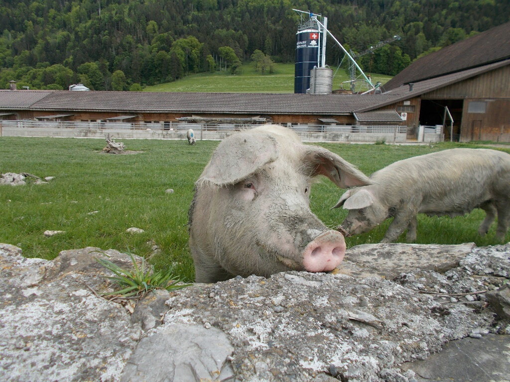 Day 3 – Igis – Residents of a Swiss Pig Farm | The Bike Tourist