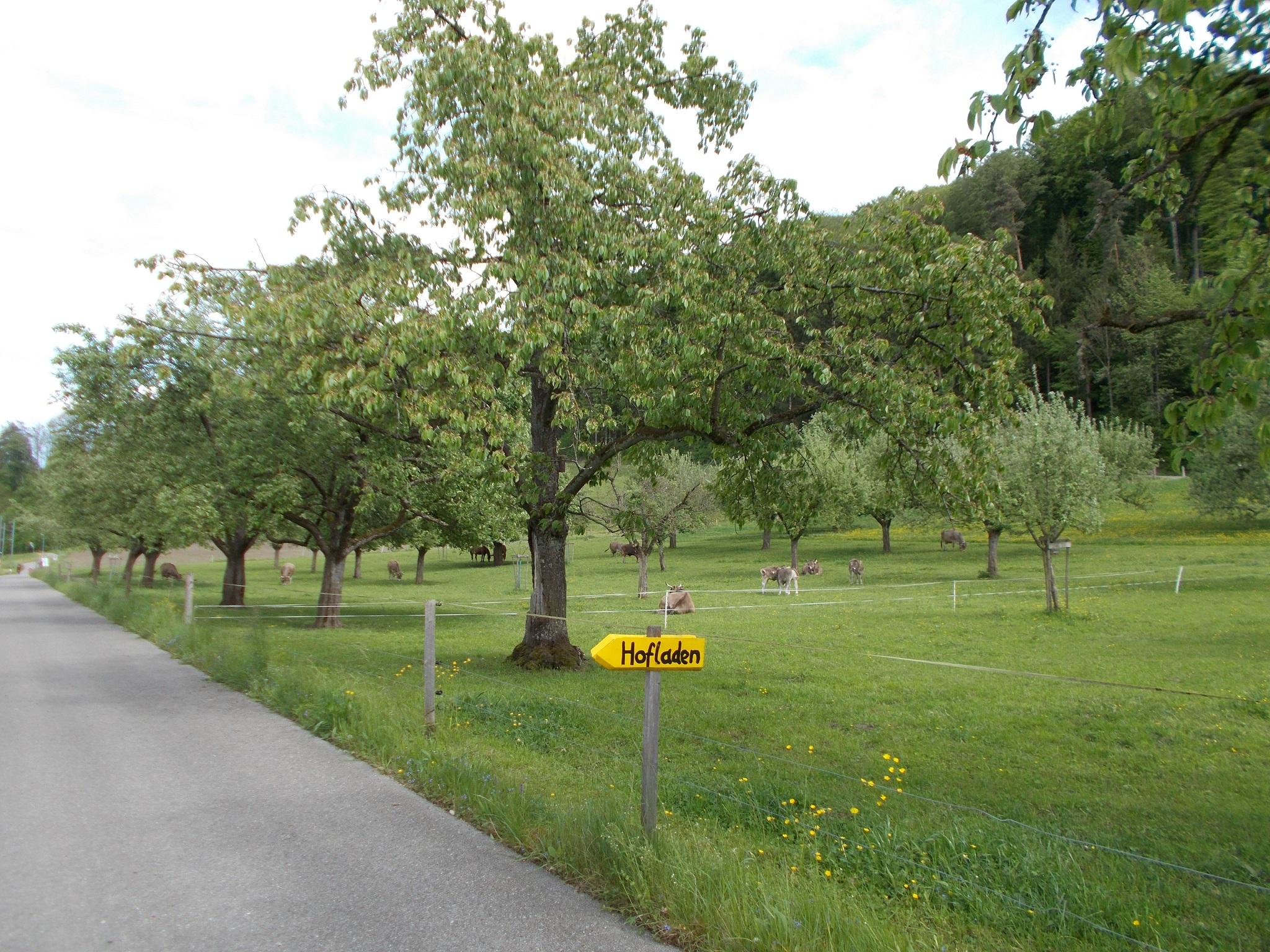 Cows feeding in a small roadside field in Switzerland.