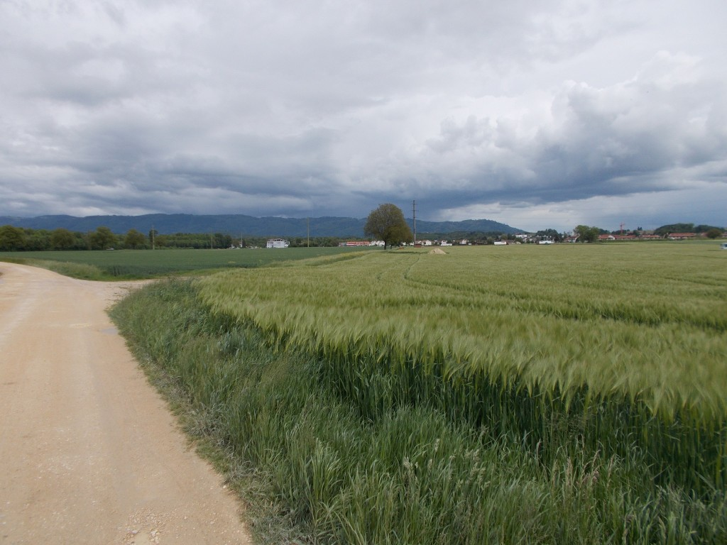 A green grain field and gravel road. Cloudy skies above. Houses in the distance.
